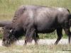 46 Buffalo, Old Faithful Inn 07-2015 (71)