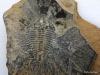 Trilobite fossil, Stanley Glacier, Kootenay National Park