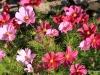 010 Avon Flowers  (2)