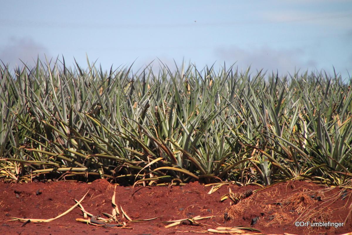 Dole Plantation , Oahu. Pineapple field