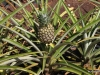 Dole Plantation , Oahu. Pineapple