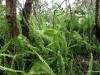 Ferns, Volcanoes National Park
