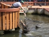 13 Gatorland 11-2015 (78) Gator feeding show