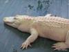 20 Gatorland 11-2015 (108) Leucistic alligators