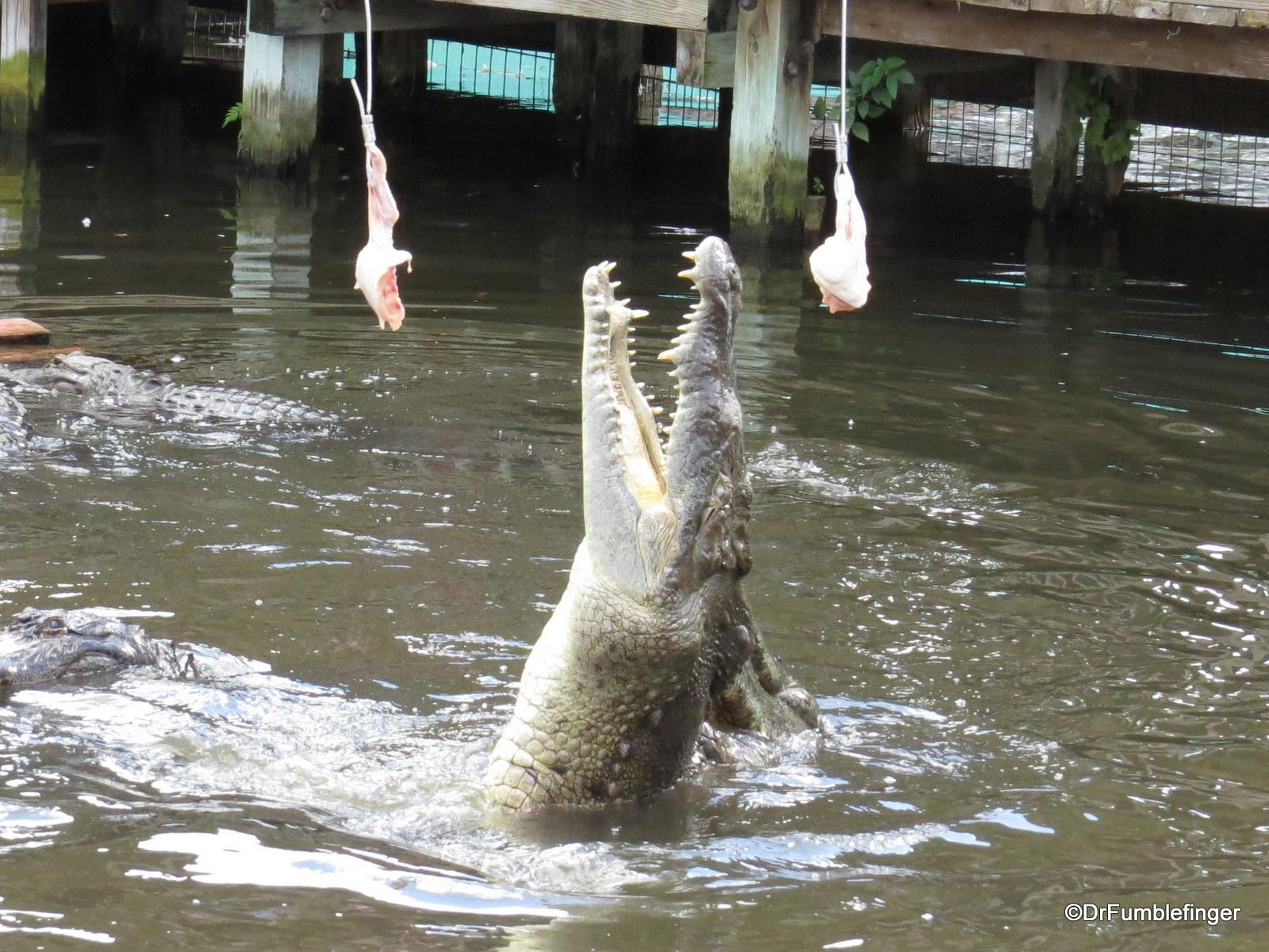 Gatorland 11-2015 (70) Gator feeding show