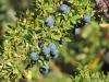 El Calafate, Laguna Nimez Nature Preserve. Calafate berries