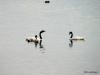 El Calafate, Laguna Nimez Nature Preserve. Black Swans