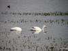 El Calafate, Laguna Nimez Nature Preserve. Swans