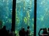 Monterey Bay Aquarium. Kelp Forest
