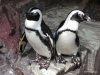 New England Aquarium, Penguins