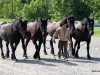 Percheron Horses, Alberta