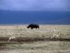 1999 Tanzania 001. Ngorongoro Crater. Black Rhino