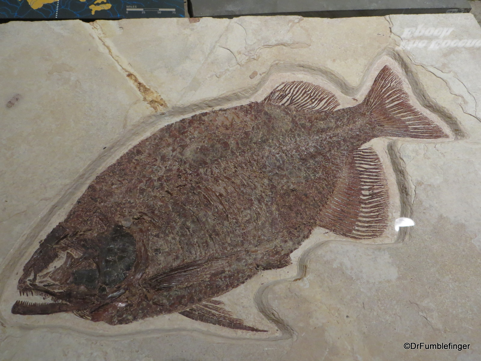 Fish fossils, Royal Tyrrell Museum, Drumheller