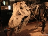T Rex exhibit, Royal Tyrrell Museum,