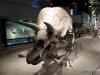 Triceratops, Dinosaur Hall, Royal Tyrrell Museum, Drumheller