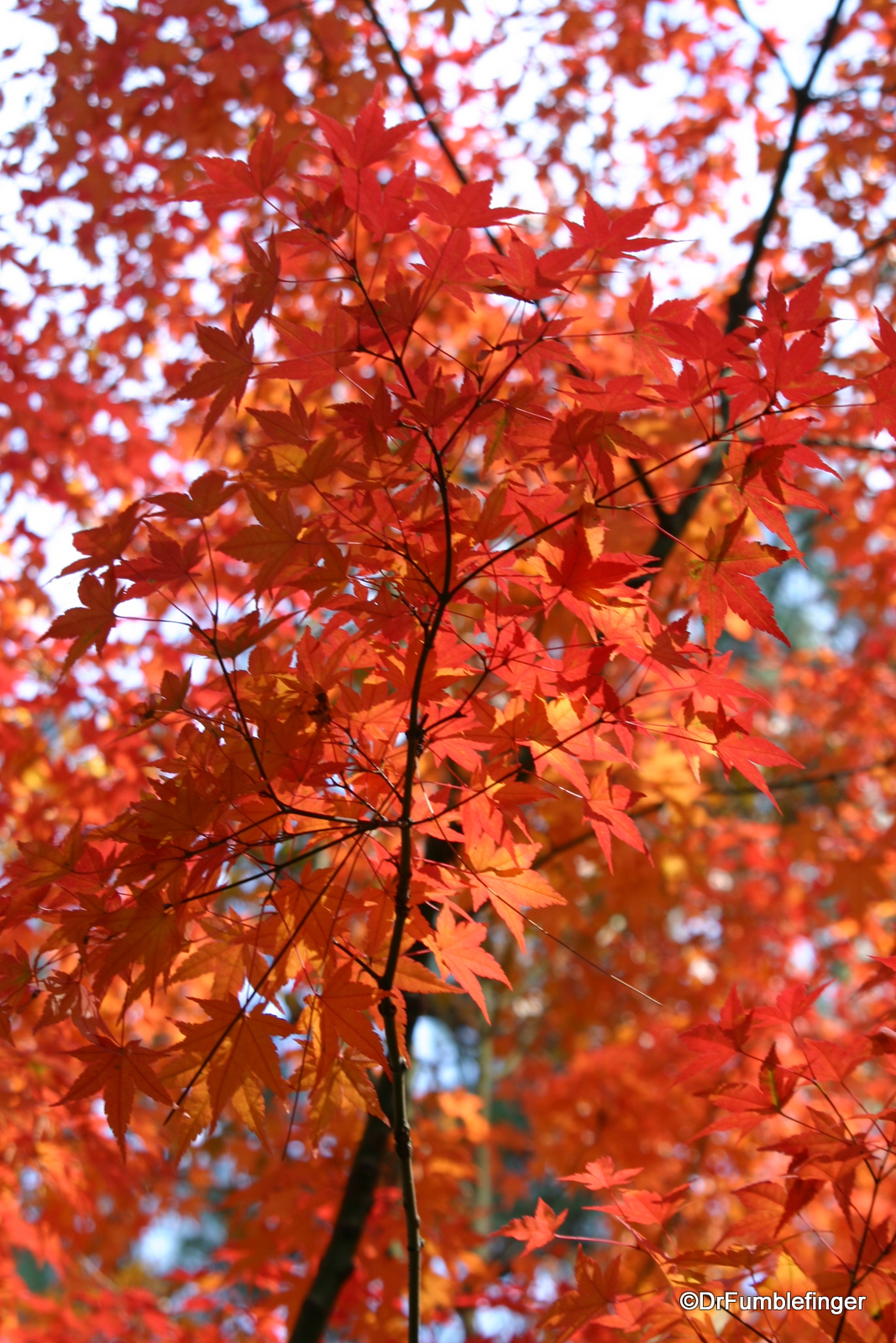 A fall visit to the nishinomiya tsutakawa japanese garden for Nishinomiya tsutakawa japanese garden koi