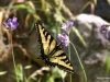 Tahquitz Canyon, Butterfly