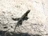 Lizard, Tahquitz Canyon