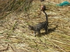 06b 1024px-Cat_on_Uros_Islands_Peru.  Courtesy Quinet and Wikimedia - Copy