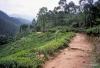 Tea plantation, trail to Adam's Peak