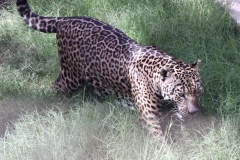 Al Ain Zoo, leopard