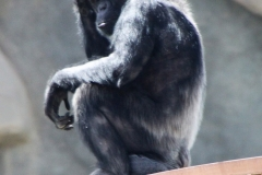 Al Ain Zoo, chimpanzee
