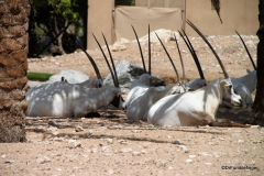 Al Ain Zoo, Arabian Oryx