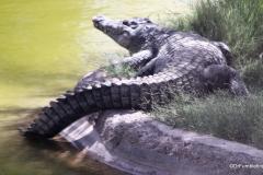Al Ain Zoo, Crocodile