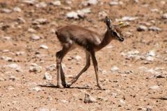 Al Ain Zoo, dik-dik