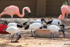 Al Ain Zoo, flamingos and ibis