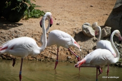Al Ain Zoo, flamingos