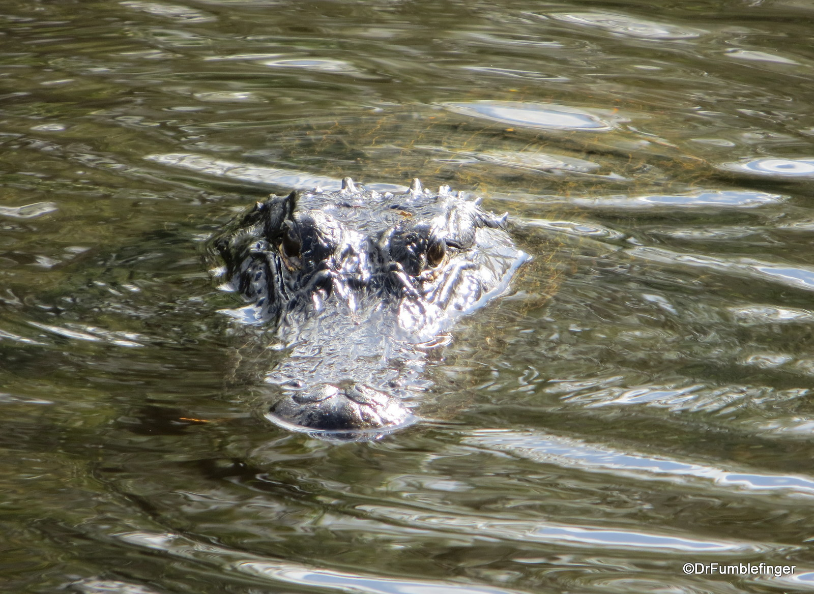 Alligator, Shark Valley, Everglades National Park. This one was following us as we walked