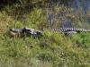 Alligator, Shark Valley, Everglades National Park