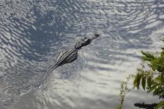 Alligator swimming, Shark Valley, Everglades National Park