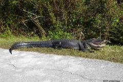 Alligators, Shark Valley, Everglades National Park