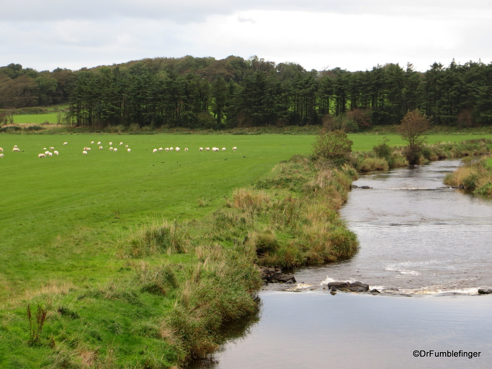 Sheep grazing by River Bush