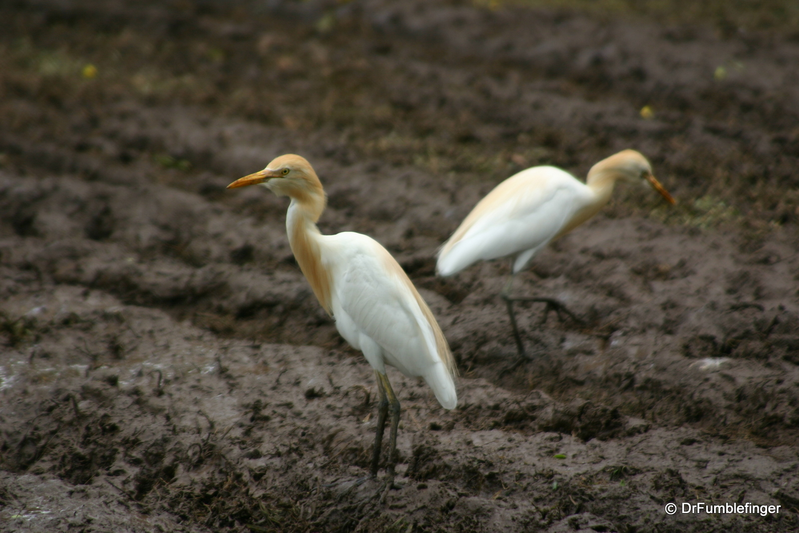 Anuradhapura -- Egrets