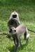 Anuradhapura -- Gray Langur Monkeys
