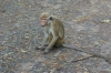 Anuradhapura -- Toque Monkey