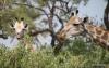 Giraffes, Sandibe Concession, Okavango Delta, Botswana