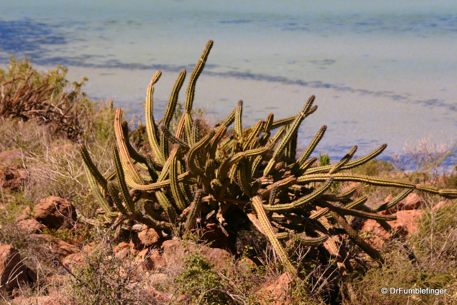 Cacti, Isla Espiritu Santo, near our camp