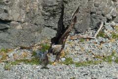 Bald Eagle and Salmon, Katmai National Park