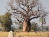 Baobob tree, Botswana
