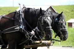 Bar U Ranch , Percheron horses