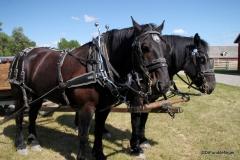 Bar U Ranch - Percheron horses