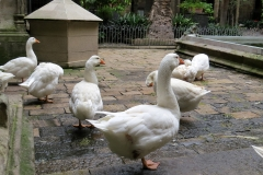 Geese, Cloister, Barcelona Cathedral
