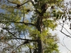 Bald cypress trees with epiphytes