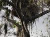 Bald eagle's nest along Big Cypress Bend Boardwalk