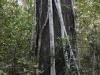 Strangler fig, Big Cypress Bend Boardwalk
