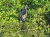 Great Blue Heron, Big Cypress Bend Boardwalk